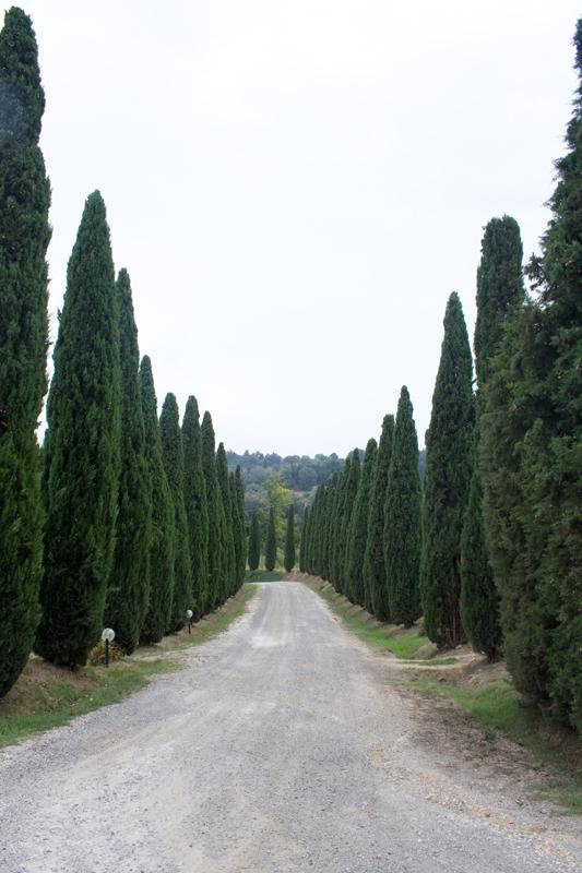 Cypress street next to San Gimignano, Italy