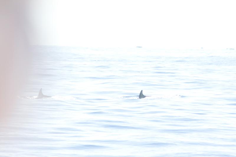 Wild Dolphins in Cinque Terre, Italy