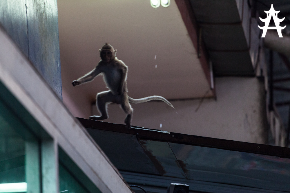 Monkey dancing in Lopburi, Thailand