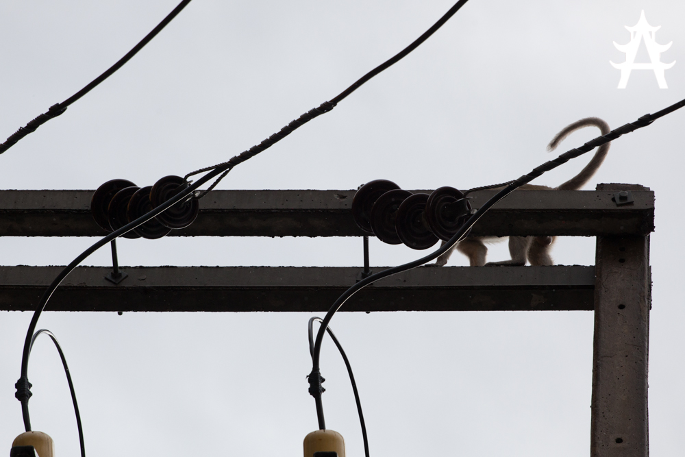 Monkey on top of electrical installation in Lopburi, Thailand