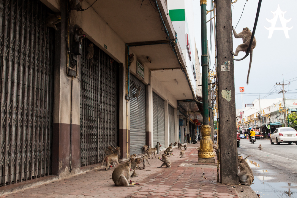Horde of monkeys on the streets of Lopburi, Thailand