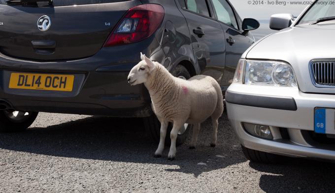 Lamb Scotland